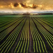agribusiness photo of crop rows at sunset